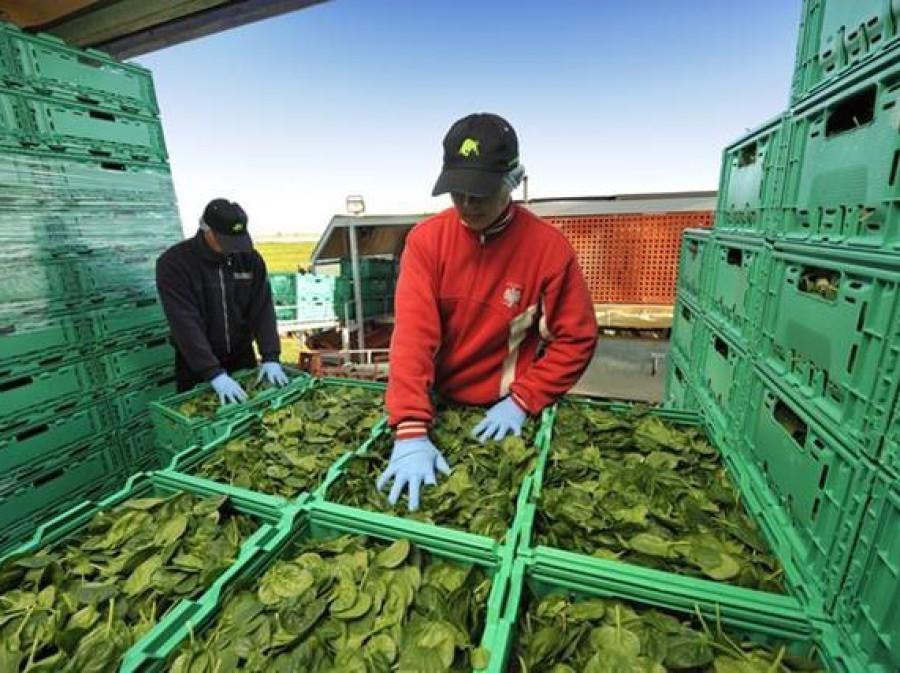 Transport de légumes dans des cagettes pliables plastiques vertes